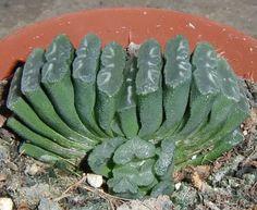 Haworthia truncata  RARE Succulent Plant