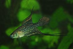 Simpsonichthys chacoensis