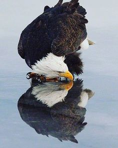 This is the national #animal for the #UnitedStates. It is majestic precise focused with long vision. It is intelligent and able to work with circumstances and others to live build a nest raise a family. It is resilient and industrious as well. It protects its family. It can see its own reflection. It can take criticism from its partner (see eagle nest building videos!). It is graceful. It is not a hawk. It is not a monkey. It is not a circus-trained bear. It is a bald eagle. You dont look at…