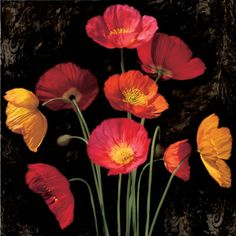 Iceland poppies - great cut flower, colours range from pale yellows thru to deep oranges & reds