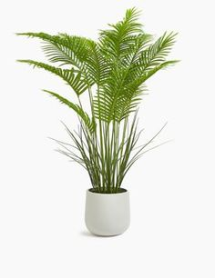 Buy the Artificial Floor Standing Palm from Marks and Spencer's range. Fake Plants, Artificial Plants, Indoor Plants, Kentia Palm, Dozen Red Roses, Money Flowers, Pots, Decoration Plante, Hot Pink Roses