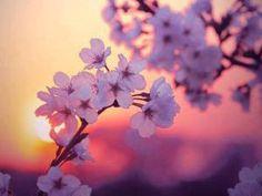Torno a vederli ed i fiori di ciliegio nella sera sono già frutti (Yosa Buson)