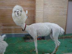 東武動物公園のアルパカちゃん♪体の毛を刈って、涼しい体になってました!(昨日よりもキレイに撮れた写真w)