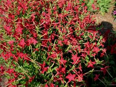 Flowering Tobacco - Nicotiana