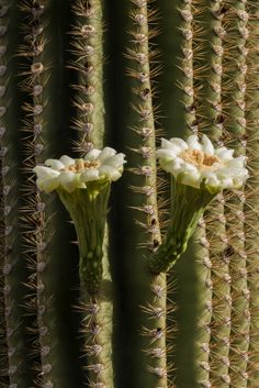 PHP_1435  Saguaro Blooms Tucson Mountian Park  www.phawkinsphoto.com  Peter Hawkins©2014
