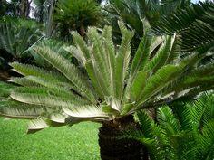 Encephalartos Brevifoliolatus            Escarpment Cycad            S A no 3,3