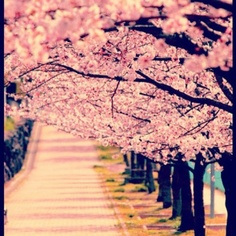 To smell the cherry blossum trees in Japan