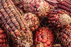 Title  Indian Corn   Artist  Bill Gallagher   Medium  Photograph - Photograph