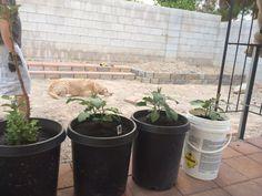 Japanese eggplants in 15 gallon containers. Tomato Seedlings, Eggplants, Planter Pots, Japanese, Japanese Language, Eggplant