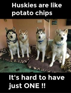 The Best Posts About Huskies On The Internet Animals Dog - The 25 best posts about huskies on the internet
