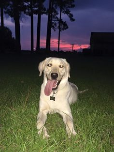 Lost golden retriever alabama