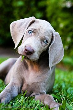 Weimaraner. The only dog that doesn't smell like dog even when it gets wet. They're so cute!