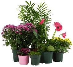 Buy plants online in bangalore,Bonsai plants for sale in bangalore,Bonsai plants online in bangalore,Order plants online in Bangalore Flower Pots, Plants, Bonsai Plants For Sale, Propagating Plants, Household Plants, Buy Plants Online, Potting Soil, Outdoor Plants, Houseplants