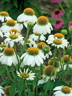 "Coneflower 'Pow Wow White' Echinacea - Dazzling white petals surround a large yellow cone. Height 18"".  Zones 3-9"