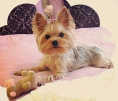 More About The Affectionate Yorkshire Terrier Dogs Health Teacup Puppies, Cute Puppies, Cute Dogs, Baby Animals, Cute Animals, Yorshire Terrier, Shih Tzu, Yorkshire Terrier Puppies, Yorkie Puppy