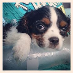 Take pity on the puppy with no air conditioning! King Charles Cavalier Spaniel.