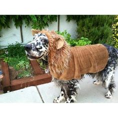 """""""Lion Hearted"""" Gromit the English Setter Most Beautiful Dogs, Cute Lion, Funny Halloween Costumes, Mans Best Friend, Playing Dress Up, Animal Pictures, Fur Babies, Dog Cat, English Setters"""