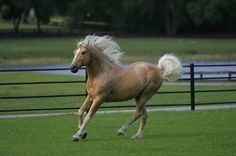 I love the palomino color...