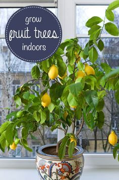 Grow an indoor lemon tree. The most popular indoor fruit tree is the Meyer lemon tree. Easy to grow, fragrant, and those luscious full-sized lemons! Perfect fruit tree for growing indoors in a container. Very rewarding! Indoor Lemon Tree, Indoor Fruit Trees, Dwarf Fruit Trees, Indoor Plants, Lemon Tree Potted, Lemon Plant, Container Gardening, Gardening Tips, Vegetable Gardening