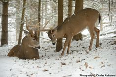 An in-depth look at a whitetails daily bedding behaviors.