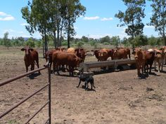 Did you say steak!  Beautiful Aussie cows