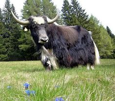 Did you know that the Yak was domesticated nearly 3,000 years ago?