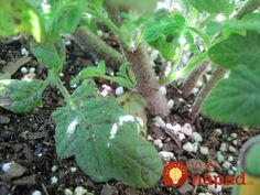 Najlepšia rada, ako zvýšiť úrodu rajčín: Čím skôr každú rajčinu takto upravte a pomôžete jej k omnoho väčšej úrode! Small Farm, Plants, Projects, Garden Ideas, Father, Belle, Log Projects, Pai, Blue Prints