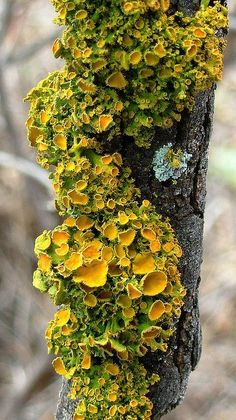 darkling-faerie-witch:Types of trees with fungi, moss and lichen...