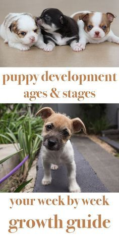 This guide to puppy development stages will show you what to expect from your puppy as he grows, includes growth charts and a detailed week by week guide art breeds cutest funny training bilder lustig welpen Dog Clicker Training, Puppy Training Tips, Training Your Dog, Potty Training, Training Collar, Leash Training, Crate Training, Agility Training, Training Kit