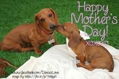 Happy mother's day ;from the Doxies❤❤