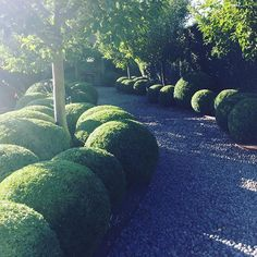 Amazing yard...........A whole week of clipping and the Buxus spheres are all tidy. #stonefields #gardens