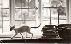 https://flic.kr/p/Ka681t | Postcrossing GB-802784 | Postcard with a black and white photo of a thin Siamese cat by a window.  Sent by a Postcrosser in the United Kingdom.