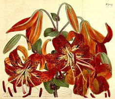 Tiger Lilies (Lilium lancifolium). #SciArt by Sydenham Teast Edwards for John Sims Curtis's Botanical Magazine Vols. 31-32 (1810). In @biodivlibrary via the Peter H. Raven Library of the @mobotgarden: http://www.biodiversitylibrary.org/page/473124  #BHLCurtis #TigerLily #TigerLilies #China #Korea #Japan #Lilies #Lily #AsiaticLilies #floriculture #flowers #flowersofinstagram #Botany #BotanicalArt #HistSciArt #HistoricalSciArt #BHLib #Biodiversity #NaturalHistory #ScientificIllustration…