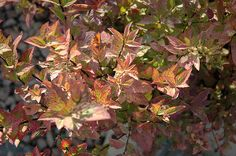 Click to view full-size photo of Fire Light Spirea (Spiraea x bumalda 'Firelight') at Bachman's Landscaping