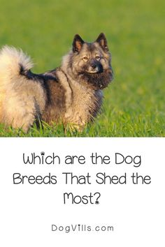 Are you wondering which dog breeds shed the most? It's unbelievable how some dogs almost don't shed, and others leave so much fur around the house that you can knit a sweater out of it.