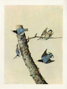 Vintage Bird Print Nuthatch Vintage Audubon Print C. 1960