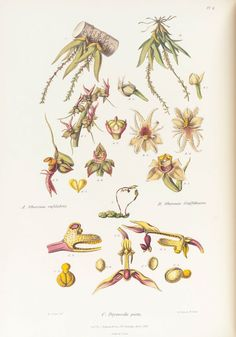 Henry Sotheran's - LINDLEY, John. Sertum Orchidaceum. A Wreath of the Most Beautiful Orchidaceous F…