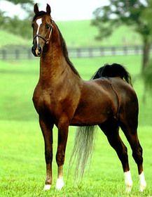 One of my favorite Saddlebred sires, Undulata's Nutcracker