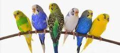 BENFILIADO: Periquitos são aves?