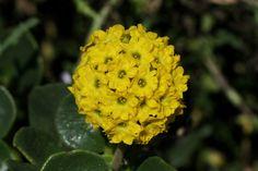Verbena Verbena, Flowers, Summer, Plants, Summer Time, Plant, Royal Icing Flowers, Flower, Florals