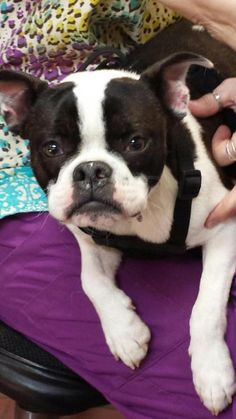 Brand new into rescue - Jack! SO far he gets along great with other #dogs and is high energy. #bostonterriers http://www.doggielife.com/jack/dogs/IAQD1P