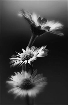 Beautiful nature daisy black and white flowers photography Foto Macro, Fotografia Macro, Photo Black, Black And White Pictures, Black And White Flowers, Macro Photography, Photography Flowers, Photography Music, Artistic Photography