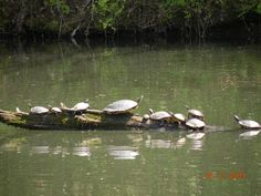 Turtles at Little Griffin Lake