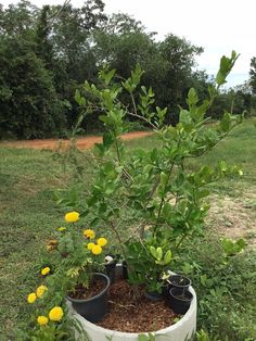 Our Grey Water System – Recycle, Reuse & Grow Trees. Recycling washing water to feed fruit trees like this lemon tree. #greywatersystems #thinglishlifestyle