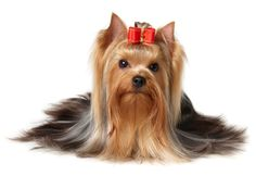 #VetsSherbourne The Yorkshire Terrier are affectionate towards their people as one would expect from a companion dog, but true to their terrier heritage, they're sometimes suspicious of strangers, and will bark at strange sounds and intruders.