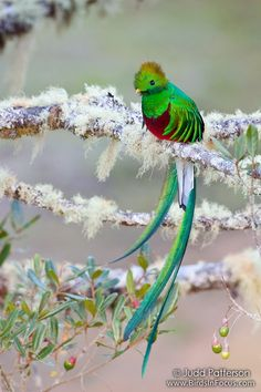 Pretty sure this is the cutest bird I have ever seen!  Resplendent Quetzal, Savegre, Costa Rica