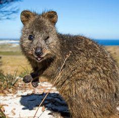 Quokka On A Beach Rottnest Island Australia Australia - 15 photos that prove quokkas are the happiest animals in the world