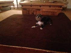 This small dog loving the Goliath pets XL dog bed.  This large bed can handle any sized dog. http://GoliathPets.com