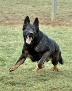 Black sable German shepherd-- If I ever get another GSD THis is ...