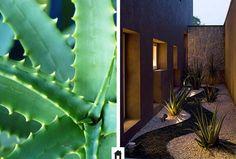 Babosa, conheça esta e mais 25 plantas resistentes ao sol.